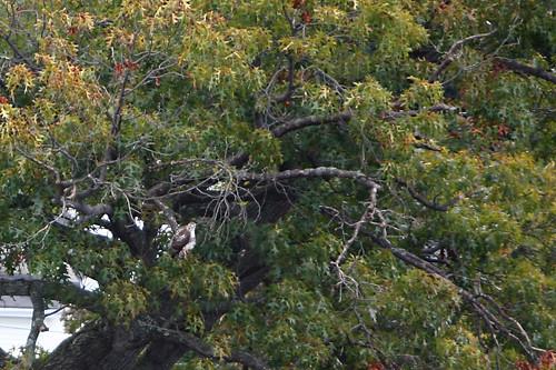 tree bird leaves sunrise hawk raptor canonef2470mmf28lusm eos5d laurelhillcemetery fitchburgma