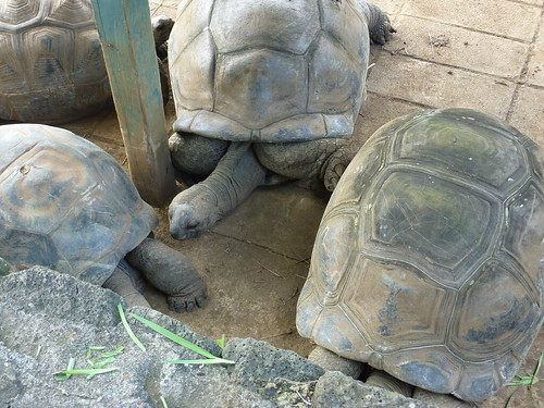 Giant tortoises at the Pamplemousses Botanical Gardens in Mauritius. Photo via http://www.flickr.com/photos/tipsfortravellers/ CC by SA