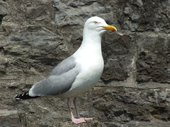 albatross(0.0), booby(0.0), animal(1.0), suliformes(1.0), charadriiformes(1.0), fauna(1.0), great black-backed gull(1.0), european herring gull(1.0), beak(1.0), bird(1.0), seabird(1.0), wildlife(1.0),