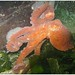 East Pacific red octopus - Photo (c) Dan Hershman, some rights reserved (CC BY)