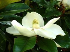 Magnolia - Photo (c) Ava Babili, algunos derechos reservados (CC BY-NC-ND)