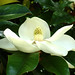 southern magnolia - Photo (c) Ava Babili, some rights reserved (CC BY-NC-ND)