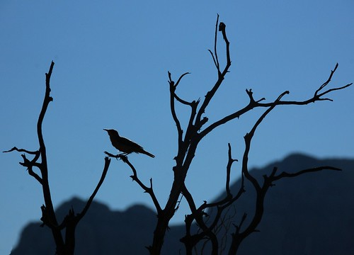 blue arizona bird silhouette backlight d50 branch branches sedona photodomino photodominoes photodomino488
