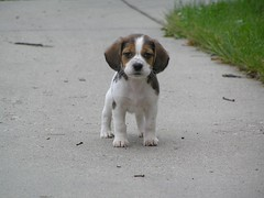 kooikerhondje(0.0), spaniel(0.0), cavalier king charles spaniel(0.0), dog breed(1.0), animal(1.0), harrier(1.0), puppy(1.0), dog(1.0), brittany(1.0), estonian hound(1.0), carnivoran(1.0), beagle(1.0),