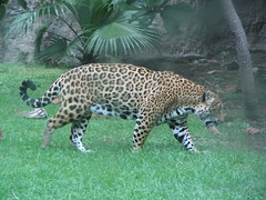 ocelot(0.0), animal(1.0), big cats(1.0), cheetah(1.0), leopard(1.0), zoo(1.0), mammal(1.0), jaguar(1.0), fauna(1.0), wildlife(1.0),