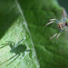 Me and my shadow - small orbweb spider by Lord V
