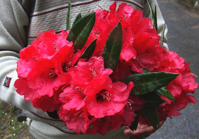 Himalayan red rhododendron