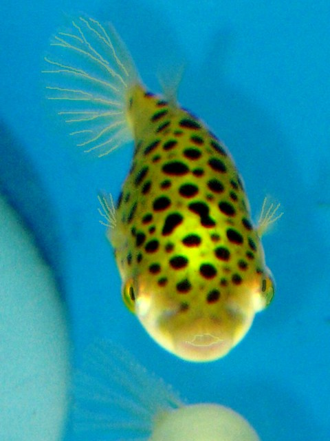 Image Result For Freshwater Puffer Fish