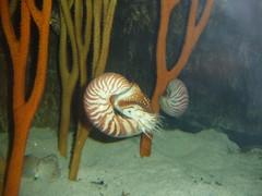 snail(0.0), painting(0.0), animal(1.0), molluscs(1.0), marine biology(1.0), fauna(1.0), nautilida(1.0),