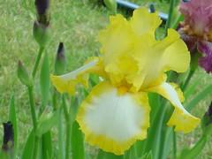 iris, flower, yellow, plant, plant stem,