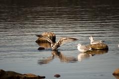 Sognsvann - Birds