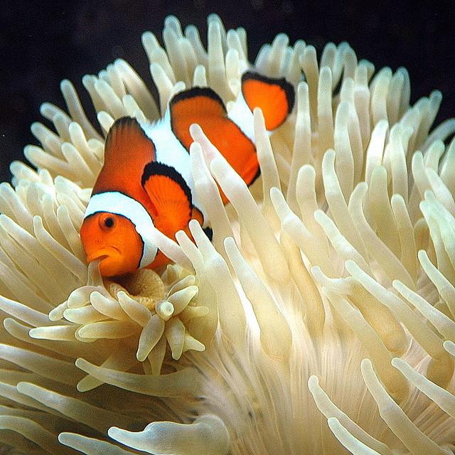 Ocellaris clownfish anemone - photo#1