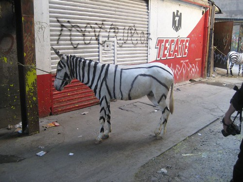 Mexican zebra