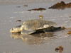 "<a href=""http://www.flickr.com/photos/qnr/4600560610/"">Photo of Lepidochelys kempii by Terry Ross</a>"