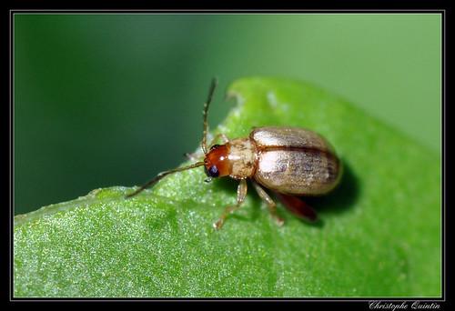 Longitarsus sp.