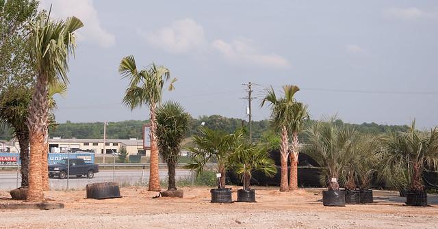 Palm Tree Nursery In Greenville South Carolina Flickr