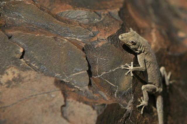 Gecko en el Parque Nacional Etosha, Namibia