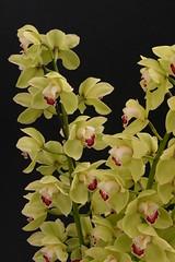 flower, yellow, plant, phalaenopsis equestris, flora, petal,