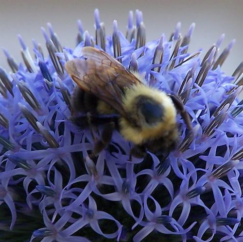 vermont bumblebee newport bombus oasispetresort