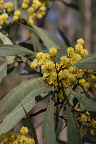 Mountain hickory wattle