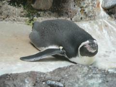 Penguins at Portland zoo