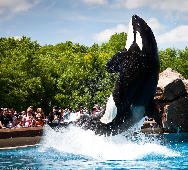 Marineland killer whale show at friendship cove 19 for Pool spa show niagara falls