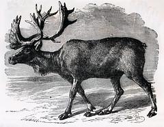 cattle-like mammal, animal, deer, sketch, drawing, elk, illustration,