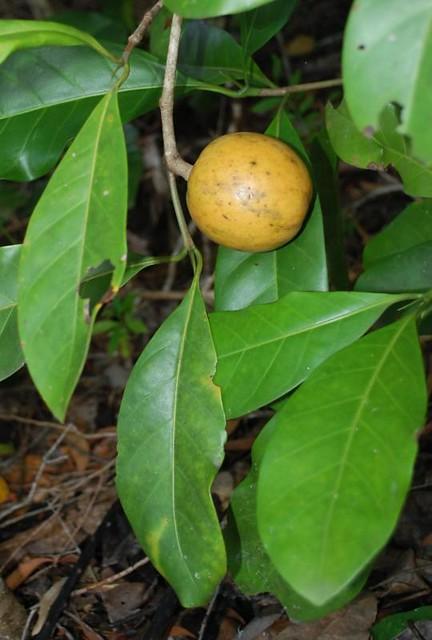 Atractocarpus fitzalanii (Brown Gardenia)