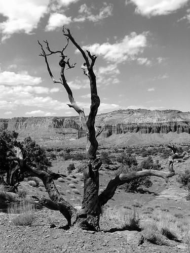 Desert Tree, Capitol Reef NP