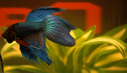 blue fish water beauty swim amazing tank fighting betta fins eyecatcher