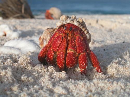 太平洋豪蘭島保護區上的寄居蟹。(來源:U.S. Fish and Wildlife Service Headquarters)