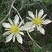 Adonis blazingstar - Photo (c) Jerry Oldenettel, some rights reserved (CC BY-NC-SA)