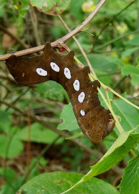 photoSphingidae Larvae