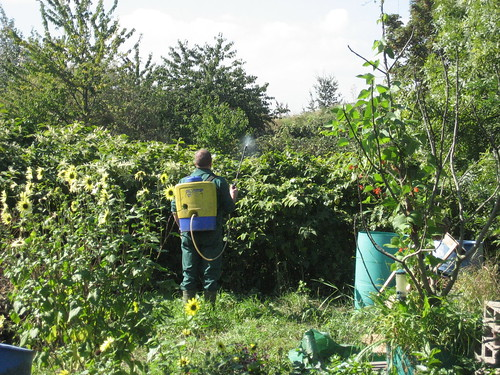 Japanese Knotweed being treated with a herbicidal spray