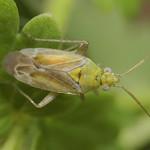 Tinicephalus hortulanus