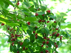shrub(0.0), elaeagnus multiflora(0.0), acerola(0.0), flower(0.0), produce(0.0), food(0.0), schisandra(0.0), evergreen(1.0), cherry(1.0), branch(1.0), plant(1.0), chokecherry(1.0), fruit(1.0),