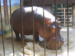 Breakfast Hippo