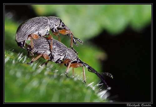 Rhopalapion longirostre (Apion des roses trémières)