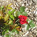 Small photo of A rose