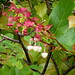 Small photo of Salal