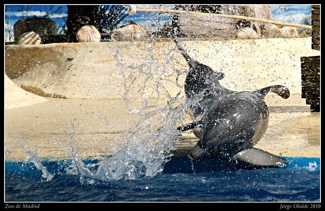 Zoo de madrid 2010 delfinario delf n saliendo de la for Piscina delfin madrid