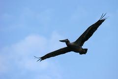 animal, bird of prey, wing, bird, flight,