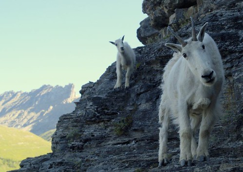 Glacier National Park, Montana - Mountain goat and her Billy