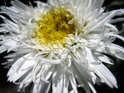 Sunlight and Shasta Daisy