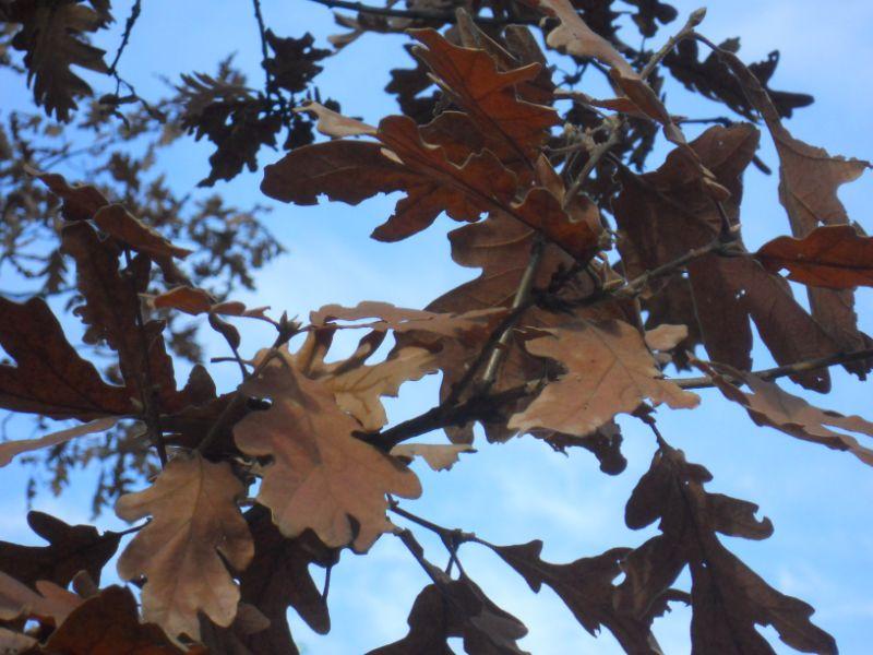 Roble en otoño