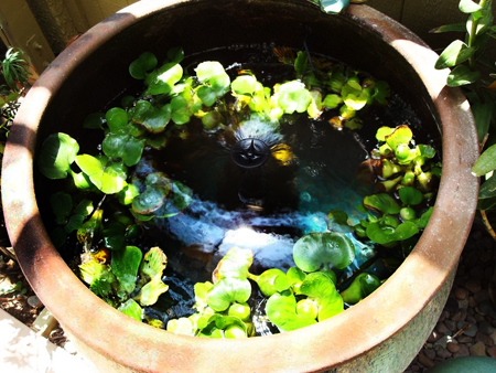 Garden tour heseon john 39 s coastal hideaway garden for Pond in a pot with fish