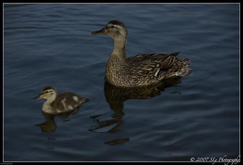 sunset summer vacation nature water glow flash duckling ducks brockville 1000islands 2007 canards