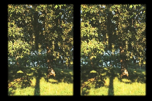 pictures trees photography three stereoscopic 3d crosseyed view cross photos stereo photographs eyed stereoscope dimensional crossview threed rubbertoe