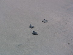 sand, reptile, sea turtle,