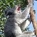 Call of the Koala by H. Evan Miller